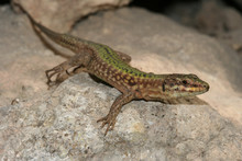 Filfola Lizard, Podarcis Filfolensis Protected Endemic Reptile S