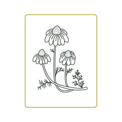 Chamomile flowers vector  illustration on white