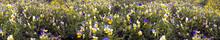 Delicate Flowers Tricolor Violets