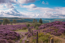 Rolling Hills Of Heather In Derbyshire Peak District National Park