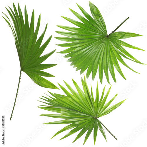 Palm  leafves (Livistona Rotundifolia palm), isolated on white Wall mural