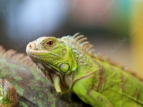 Vert lézard iguane Poster