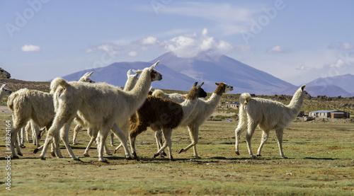 Poster Lama Vicunas in Salar de Uyuni, Bolivia