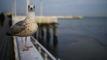 Large Gray Seagull On The Pier In Sopot, Poland.