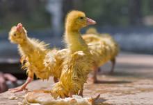 Little Goslings.