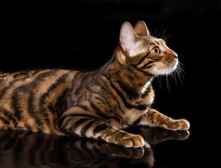 Panel Szklany Kot Cat breed toyger on black background