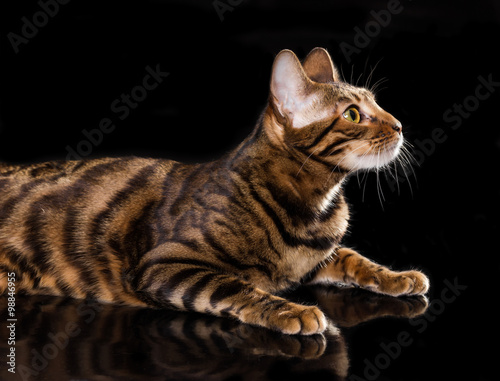 Cat breed toyger on black background - 98846955