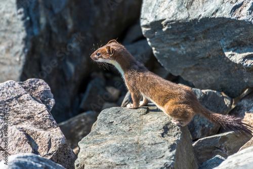 Fototapeta East ermine stroll among the rocks
