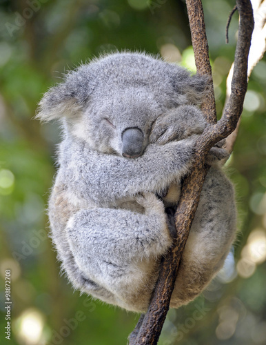 koala asleep  in a tree.