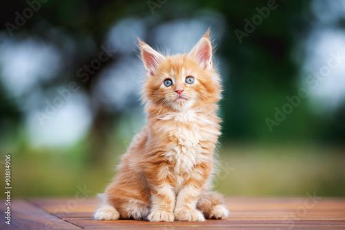 Imbir kitten maine coon siedzi na zewnątrz Fototapeta