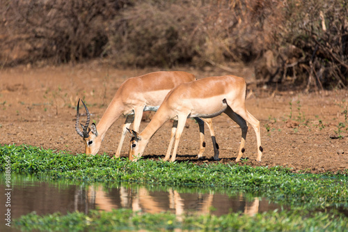 Antelope Antilopen am Wasserloch