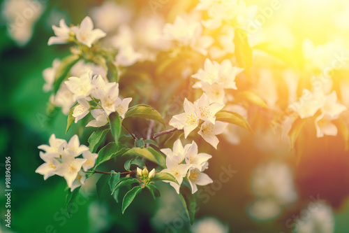 Jasmine flowers blossoming on the bush at sunset Canvas Print