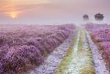 Ścieżka przez kwitnący wrzos i mgłę w Holandii - 98904700