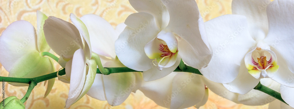 Fototapety, obrazy: Flowers white orchid