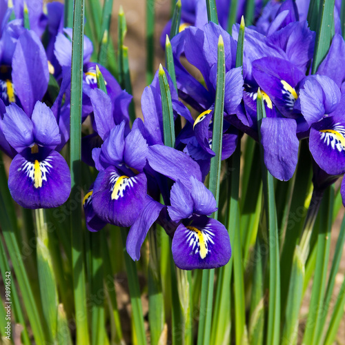 Foto op Canvas Iris morning flower iris park