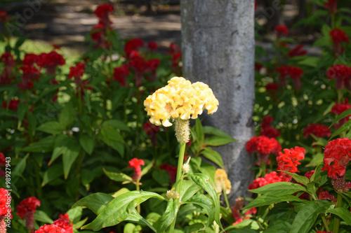 Fotografie, Obraz  Cockscomb flower. Close up cockscomb flower in the garden