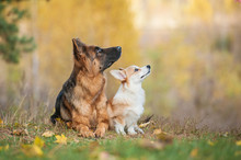 Pembroke Welsh Corgi Puppy With German Shepherd Dog In Autumn