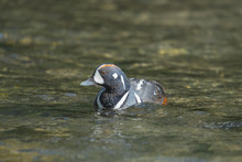 Harlequin Duck (Histrionicus H...