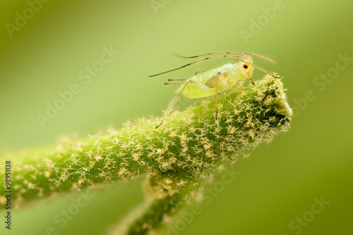 Extreme magnification - Green aphids on a plant Wallpaper Mural