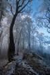 Oszronione drzewa na Jaworzynie Krynickiej