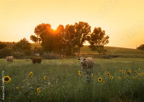 Fotografie, Obraz  Summer farmland scene in sunset