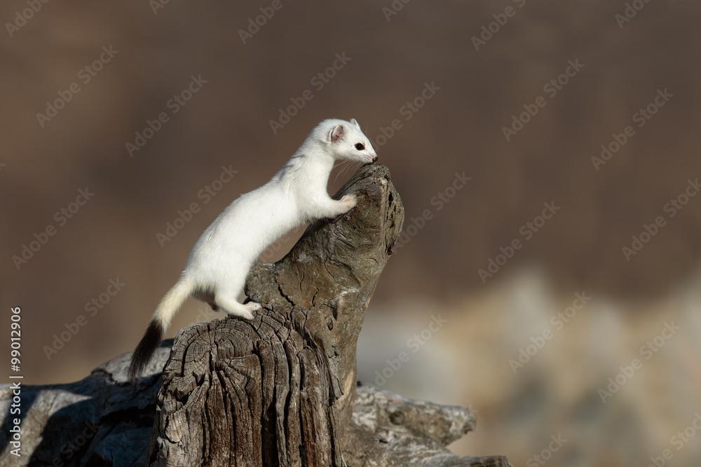 Fotografie, Obraz Ermellino su tronco