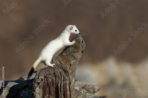 Fotografia, Obraz Ermellino su tronco