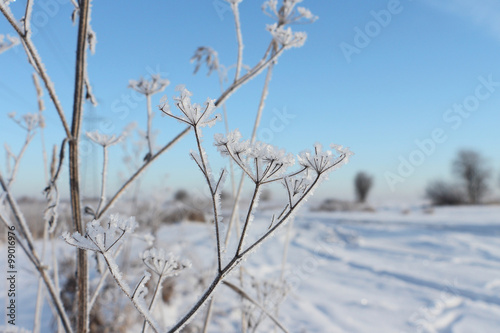 Fotografia  Stalks of a dry grass in hoarfrost a background of the blue sky in the winter