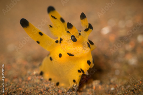 A 'Pikachu' or Thecacera nudibranch, . Taken in Bali, Indonesia. фототапет