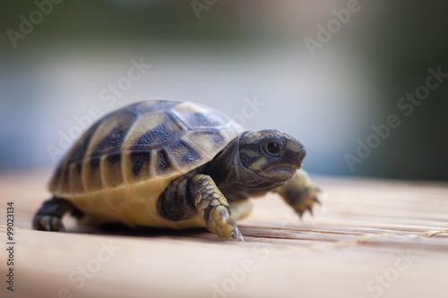 little turtle walk ahead