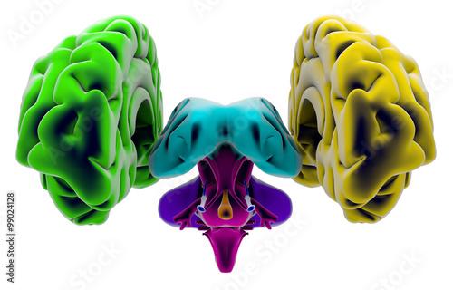 Fotografie, Obraz  Cervello, sezione, divisione, taglio parti, anatomia studio