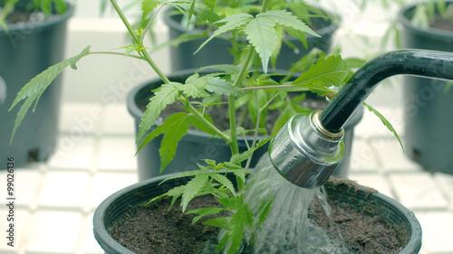Obraz na płótnie Podlewanie roślin marihuany