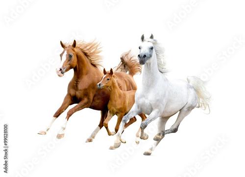 Fotografia Trzy arabskie konie na białym
