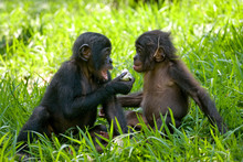 Two Baby Bonobo Sitting On The...