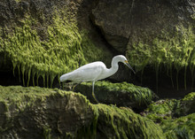 Snowy Egret  - A Snowy Egret Walking Across Green Mossy Rocks On The Beach Near Tulum, Mexico