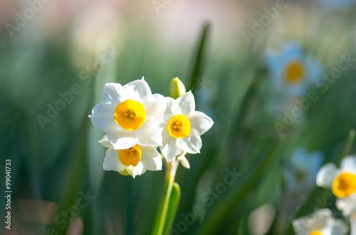 Papiers peints Narcisse narcissus flower at hota area chiba,tourism of japan