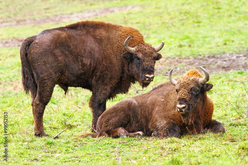 Fotografie, Obraz  european bisons on green grass