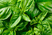 Fresh Basil Leaves.
