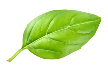 Basil Leaf Isolated On White Background. Macro.