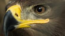 Steppe Eagle Close Up
