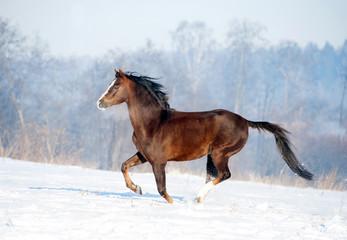 brown welsh pony runs free in winter field
