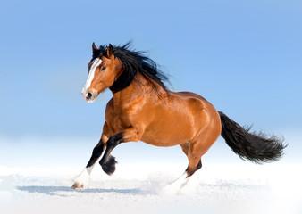 bay draft horse runs free in snow desert