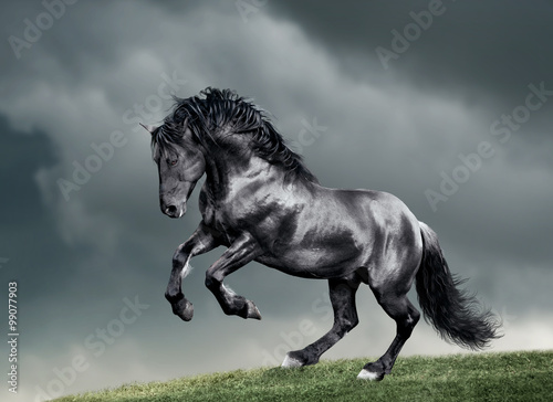 Pinturas sobre lienzo  white arab horse runs gallop in summer time with stormy weather