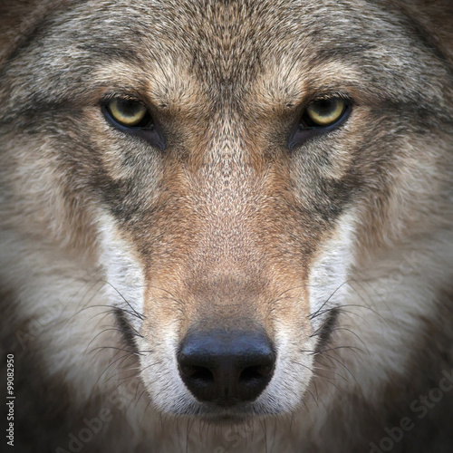 Staande foto Wolf A gimlet look straight into your soul of a severe wolf female. Menacing expression of the young, two year old, european wolf, very beautiful animal and extremely dangerous beast.
