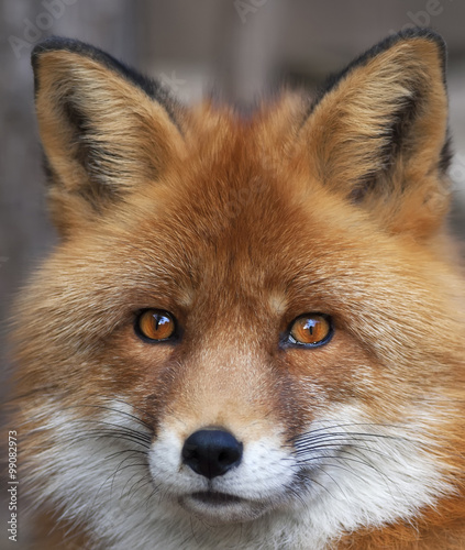 face-portrait-of-a-red-fox-male