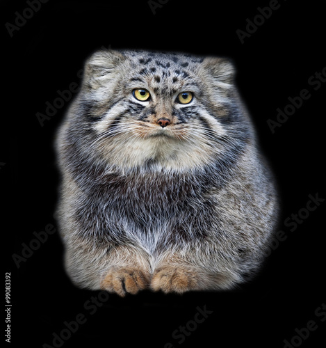 Animal portrait of a Pallas' cat, or manul cat, or otocolobus manul, or asian wild cat, or Felis manul. Cute and cuddly small beast, like plush toy, isolated on black background.