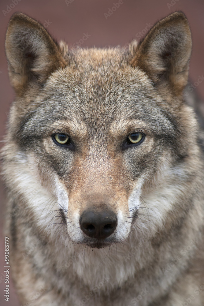 A young european wolf female with soiled nose, looking straight into the camera. Face portrait of a forest dangerous beast, Canis lupus lupus, on blur pink background. Beauty of the wildlife.