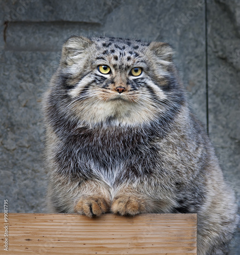 Animal portrait of a Pallas' cat, or manul cat, or otocolobus manul, or asian wild cat, or Felis manul. Cute and cuddly small beast, like plush toy. Very beautiful, but extremely wild creature.
