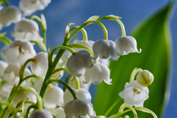FototapetaDetail of a white flower lily of the valley.