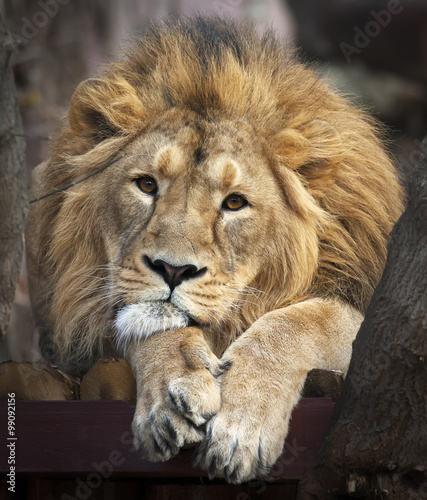 Foto op Plexiglas Leeuw Face portrait of Asian lion, lying among trees. Calm look straight into the camera of The King of beasts, biggest cat of world. Most dangerous and mighty predator of world. Beauty of wildlife.